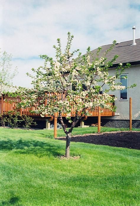 Evans Cherry Prunus In E
