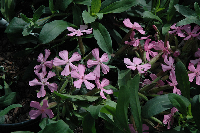 Max Frei Soapwort (Saponaria lempergii 'Max Frei') at Wagner Nursery & Landscape