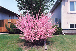Double Flowering Plum (Prunus triloba 'Multiplex') at Wagner Nursery & Landscape