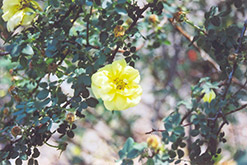 Harrison's Yellow Rose (Rosa foetida 'Harrison's Yellow') at Wagner Nursery & Landscape