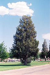 Rocky Mountain Juniper (Juniperus scopulorum) at Wagner Nursery & Landscape