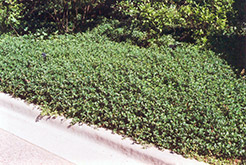Bowles Periwinkle (Vinca minor 'Bowles') at Wagner Nursery & Landscape