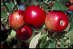 State Fair Apple (Malus 'State Fair') at Wagner Nursery & Landscape