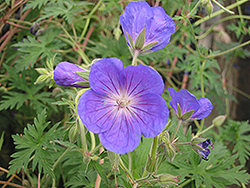 Orion Cranesbill (Geranium 'Orion') at Wagner Nursery & Landscape