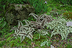 Japanese Painted Fern (Athyrium nipponicum 'Pictum') at Wagner Nursery & Landscape