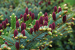 Red Cone Spruce (Picea abies 'Acrocona') at Wagner Nursery & Landscape