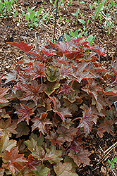 Palace Purple Coral Bells (Heuchera micrantha 'Palace Purple') at Wagner Nursery & Landscape