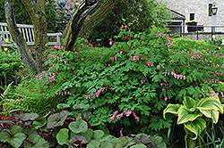 Common Bleeding Heart (Dicentra spectabilis) at Wagner Nursery & Landscape