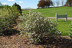 Autumn Magic Black Chokeberry (Aronia melanocarpa 'Autumn Magic') at Wagner Nursery & Landscape