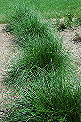 Tufted Hair Grass (Deschampsia cespitosa) at Wagner Nursery & Landscape