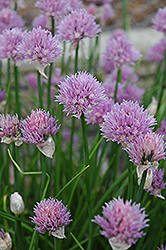 Chives (Allium schoenoprasum) at Wagner Nursery & Landscape