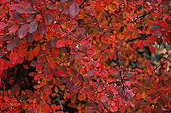 Rose Glow Japanese Barberry (Berberis thunbergii 'Rose Glow') at Wagner Nursery & Landscape