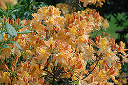 Golden Lights Azalea (Rhododendron 'Golden Lights') at Wagner Nursery & Landscape