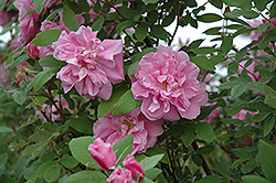 Therese Bugnet Rose (Rosa 'Therese Bugnet') at Wagner Nursery & Landscape