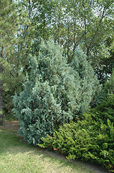 Wichita Blue Juniper (Juniperus scopulorum 'Wichita Blue') at Wagner Nursery & Landscape