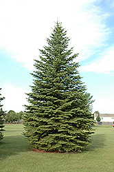 Colorado Spruce (Picea pungens) at Wagner Nursery & Landscape