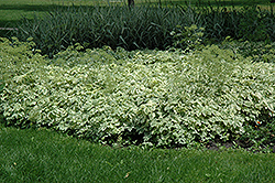 Variegated Bishop's Goutweed (Aegopodium podagraria 'Variegata') at Wagner Nursery & Landscape
