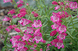 Red Rocks Beard Tongue (Penstemon x mexicali 'Red Rocks') at Wagner Nursery & Landscape