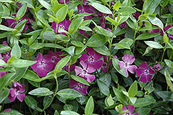Burgundy Periwinkle (Vinca minor 'Atropurpurea') at Wagner Nursery & Landscape