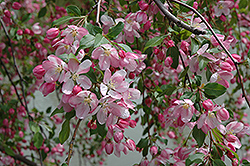Louisa Flowering Crab (Malus 'Louisa') at Wagner Nursery & Landscape