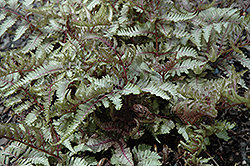 Red Beauty Painted Fern (Athyrium nipponicum 'Red Beauty') at Wagner Nursery & Landscape
