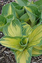 Great Expectations Hosta (Hosta 'Great Expectations') at Wagner Nursery & Landscape