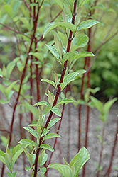Alleman's Compact Dogwood (Cornus sericea 'Alleman's Compact') at Wagner Nursery & Landscape