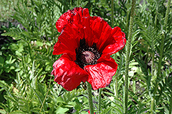 Beauty of Livermere Poppy (Papaver orientale 'Beauty of Livermere') at Wagner Nursery & Landscape