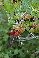 Pixwell Gooseberry (Ribes 'Pixwell') at Wagner Nursery & Landscape