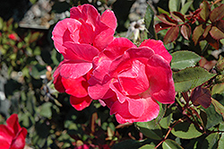 Pink Knock Out® Rose (Rosa 'Radcon') at Wagner Nursery & Landscape