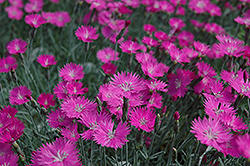 Firewitch Pinks (Dianthus gratianopolitanus 'Firewitch') at Wagner Nursery & Landscape