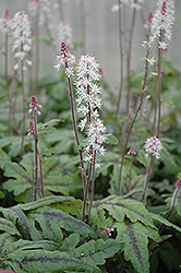 Candy Striper Foamflower (Tiarella 'Candy Striper') at Wagner Nursery & Landscape