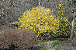 Northern Gold Forsythia (Forsythia 'Northern Gold') at Wagner Nursery & Landscape