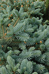 Lundeby's Dwarf Blue Spruce (Picea pungens 'Lundeby's Dwarf') at Wagner Nursery & Landscape