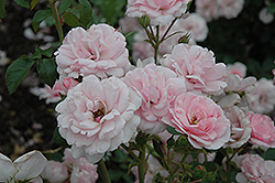 Bonica® Rose (Rosa 'Meidomonac') at Wagner Nursery & Landscape