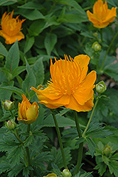 Golden Queen Globeflower (Trollius chinensis 'Golden Queen') at Wagner Nursery & Landscape