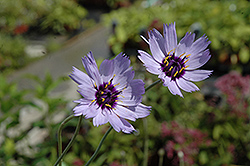 Cupid's Dart (Catananche caerulea) at Wagner Nursery & Landscape