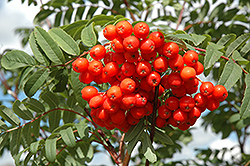 Cardinal Royal Mountain Ash (Sorbus aucuparia 'Cardinal Royal') at Wagner Nursery & Landscape