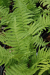 The King Ostrich Fern (Matteuccia 'The King') at Wagner Nursery & Landscape