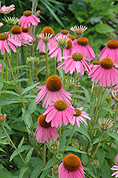 Kim's Knee High Coneflower (Echinacea 'Kim's Knee High') at Wagner Nursery & Landscape