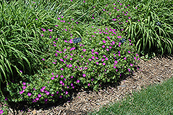 New Hampshire Purple Cranesbill (Geranium sanguineum 'New Hampshire Purple') at Wagner Nursery & Landscape