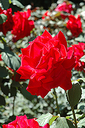 Chrysler Imperial Rose (Rosa 'Chrysler Imperial') at Wagner Nursery & Landscape