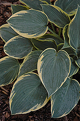 First Frost Hosta (Hosta 'First Frost') at Wagner Nursery & Landscape
