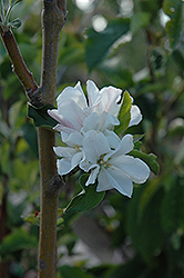 Whitney Flowering Crab (Malus 'Whitney') at Wagner Nursery & Landscape