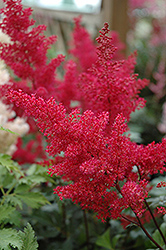 Montgomery Japanese Astilbe (Astilbe japonica 'Montgomery') at Wagner Nursery & Landscape