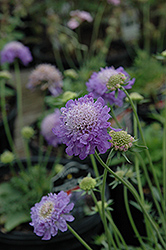 Blue Note Pincushion Flower (Scabiosa 'Blue Note') at Wagner Nursery & Landscape
