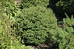 Hildburghausen Norway Spruce (Picea abies 'Hildburghausen') at Wagner Nursery & Landscape