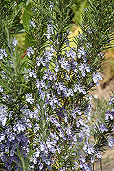 Rosemary (Rosmarinus officinalis) at Wagner Nursery & Landscape