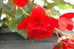 Illumination® Scarlet Begonia (Begonia 'Illumination Scarlet') at Wagner Nursery & Landscape