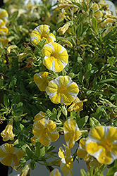 Superbells® Lemon Slice Calibrachoa (Calibrachoa 'Superbells Lemon Slice') at Wagner Nursery & Landscape